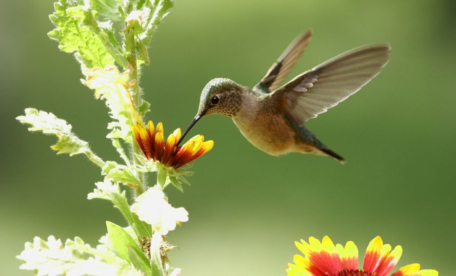 hummingbird flower mix